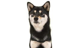 Black and tan shiba inu dog portrait. Isolated on a white background Royalty Free Stock Photography