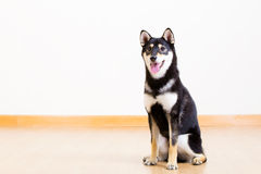 Black and tan Shiba Inu. At home stock images