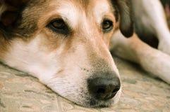 Black and Tan Short Coat Medium Size Dog Lying on Floor Stock Photos