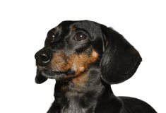 Black and Tan Short Haired Dachshund Royalty Free Stock Images