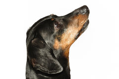 Black and Tan Short Haired Dachshund Stock Photography