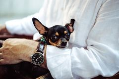 Black Tan Smooth Chihuahua on Person's Lap Royalty Free Stock Photos