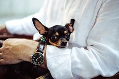 Black Tan Smooth Chihuahua on Person's Lap Royalty Free Stock Photography