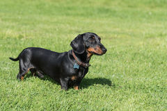 Black and tan smooth-haired miniature dachshund in field. Black and tan smooth-haired miniature dachshund standing in profile in a field looking right royalty free stock images