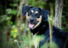Black and tan terrier mixed breed dog Royalty Free Stock Images