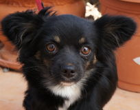 Black, tan and white long haired Chihuahua Dog Stock Photo