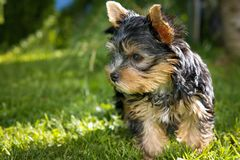 Black Tan Yorkshire Terrier Royalty Free Stock Photography