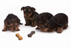 Black and Tan Yorkshire Terrier Puppy Stock Images