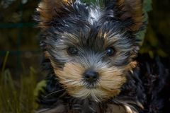Black and Tan Yorkshire Terrier Puppy Closeup Photography Royalty Free Stock Images