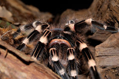 Black tarantula Stock Photos