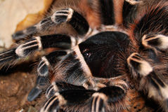 Black tarantula. Tarantula acanthoscurria geniculata in natural environment royalty free stock images
