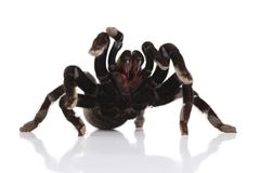 Black tarantula Stock Photography