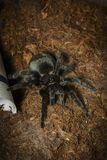 Black tarantula. Waiting in a terrarium ,web on the floor Stock Photos