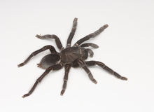 Black tarantula Stock Image