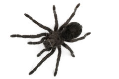 Black Tarantula- Grammostola Pulchra Royalty Free Stock Photography