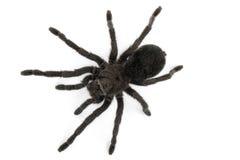 Black Tarantula- Grammostola Pulchra Royalty Free Stock Photography