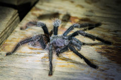Black tarantula in the peruvian Amazon jungle at Madre de Dios P. Eru Royalty Free Stock Photography