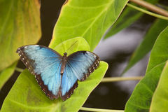 Black and Teal Butterfly on Green Leaves Stock Images
