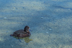 Black teal, (or scaup). Swimming in the lake stock image