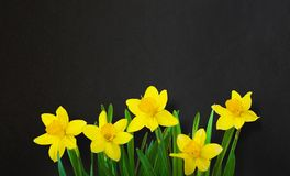 Black template background with Yellow daffodils flowers. Black background with Yellow daffodils flowers. Floral template with border of daffodils flowers on royalty free stock photos