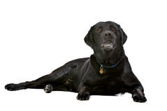 Black ten years old Labrador Stock Images
