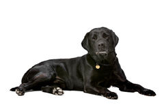 Black ten years old Labrador Royalty Free Stock Image