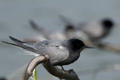 Free Black Tern Royalty Free Stock Image - 11117716