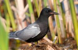 Black Tern Royalty Free Stock Image