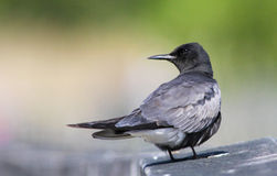 Black Tern Royalty Free Stock Image