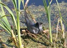 Black tern. Sitting on nest Royalty Free Stock Photo