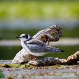 Black tern chick sitting on vegetation of the lake. Royalty Free Stock Photos