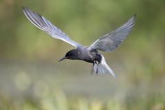 Black tern, Chlidonias niger Stock Photos