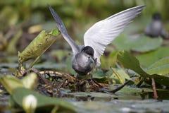 Black tern, Chlidonias niger Royalty Free Stock Images
