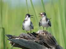 Black Tern fledglings squawking Stock Photos