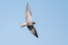 Black Tern Stock Images
