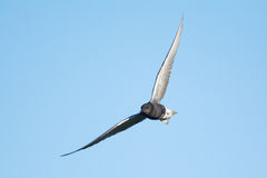 Black Tern Royalty Free Stock Images