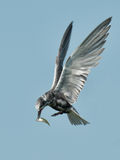 Black Tern in flight with fish Stock Photo