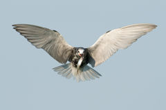 Black Tern in flight with fish Royalty Free Stock Images