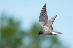 Black Tern Stock Image