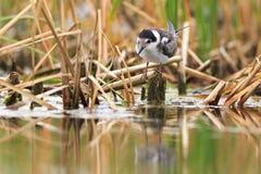 Black Tern gets food on  lake. Royalty Free Stock Photo
