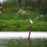 Black Tern gets food on  lake. Royalty Free Stock Image