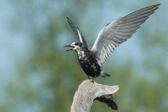 Black Tern lifts wings and calls Stock Photography