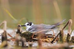 Black Tern on nest  the lake. Royalty Free Stock Photos