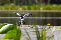 Black tern sitting on water vegetation Royalty Free Stock Photography