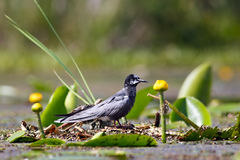 Black tern sitting on water vegetation of  lake. Royalty Free Stock Images