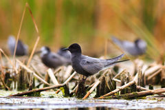 Black tern sitting on water vegetation Stock Photo