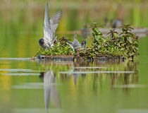 Black terns (Chlidonias niger) Royalty Free Stock Photo