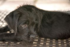 Black terrier cross puppy laying down in the shade royalty free stock photos