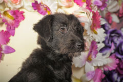 Black Terrier crossbreed Royalty Free Stock Photo
