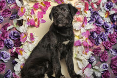 Black Terrier crossbreed Stock Image